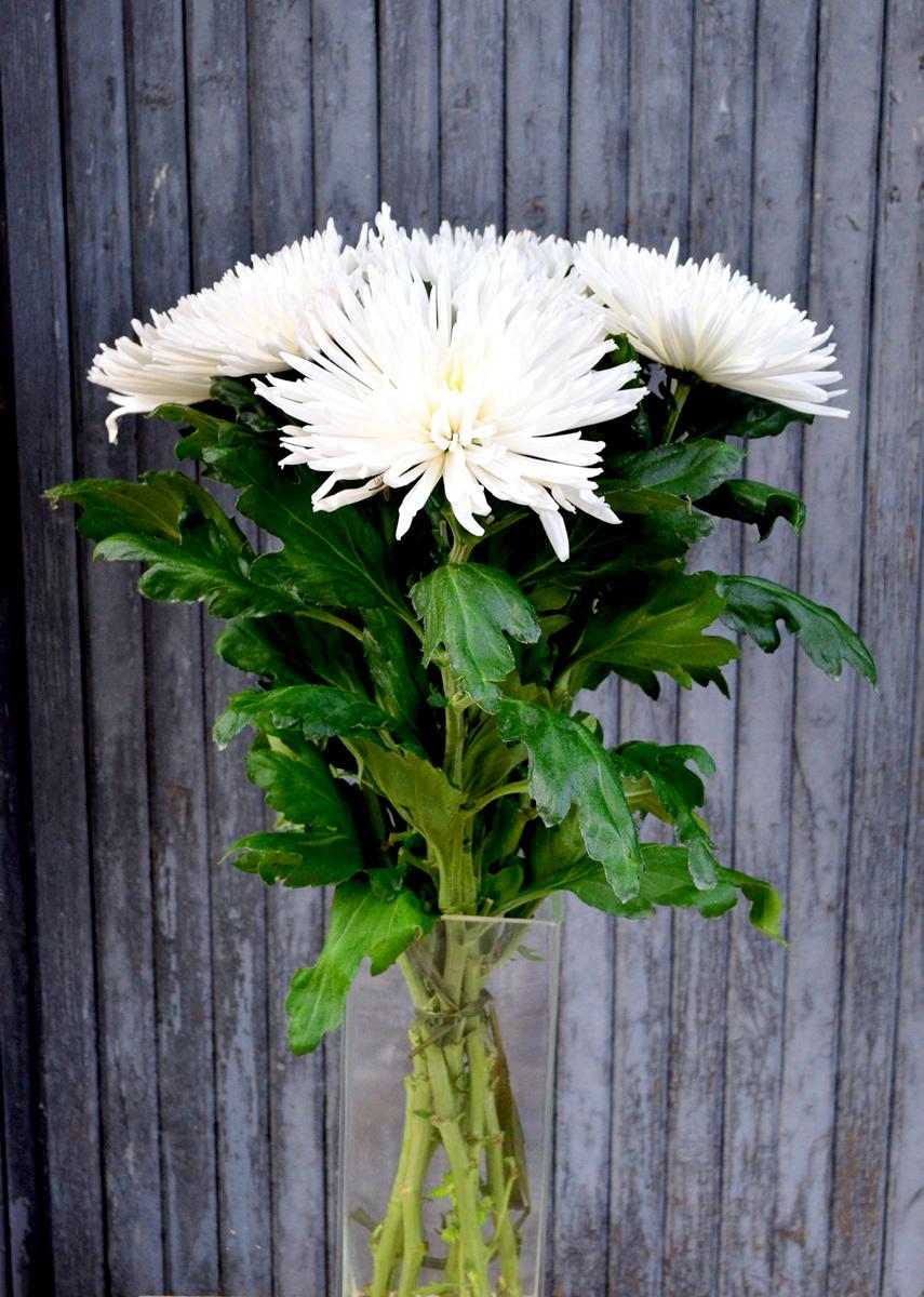 Хризантема стандартная,