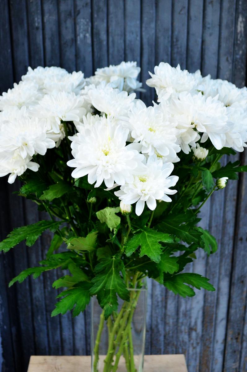Хризантема кустовая, белая