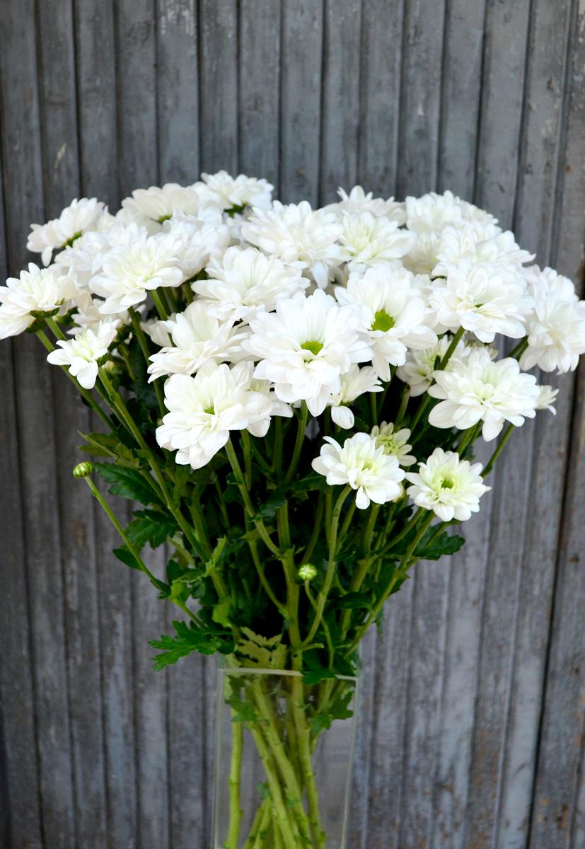 Хризантема кустовая, ромашка, белая