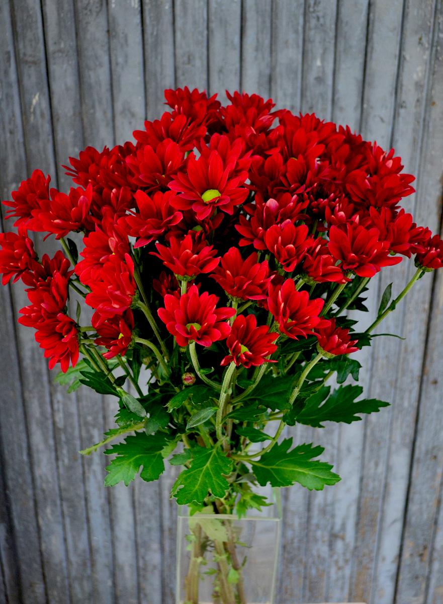 Хризантема кустовая, красная