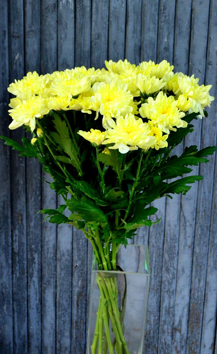Хризантема кустовая, лимонная