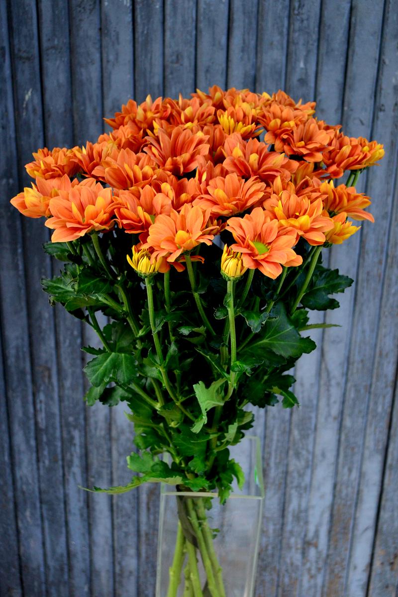 Хризантема кустовая, оранжевая