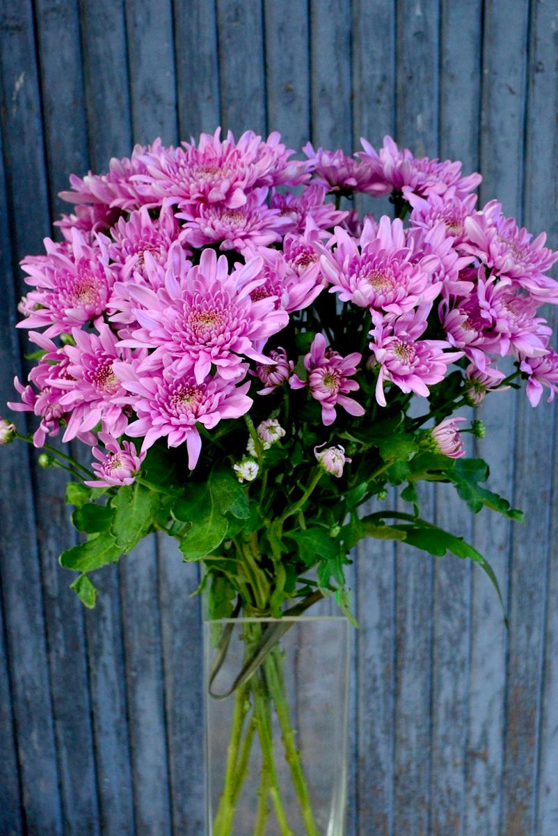 Хризантема кустовая, розовая