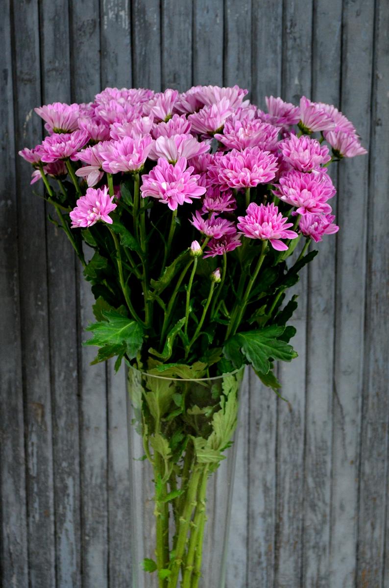 Хризантема кустовая, ромашка розовая