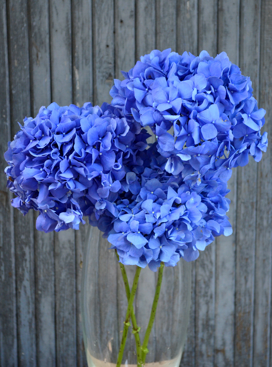 Гортензия, синяя