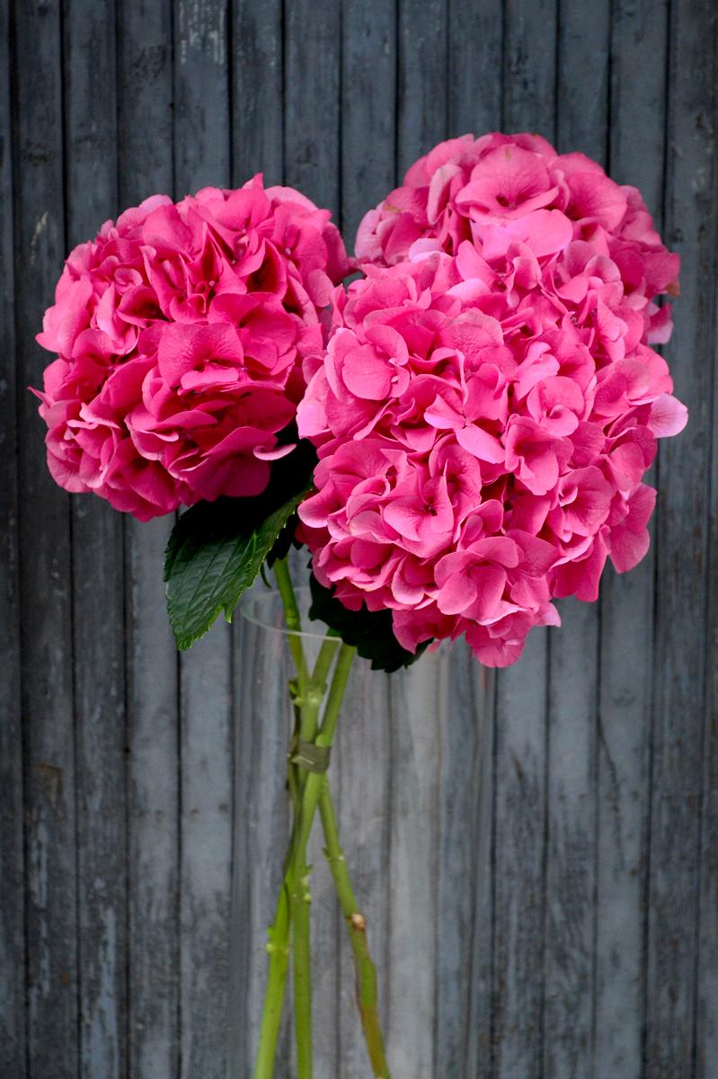Гортензия, розовая