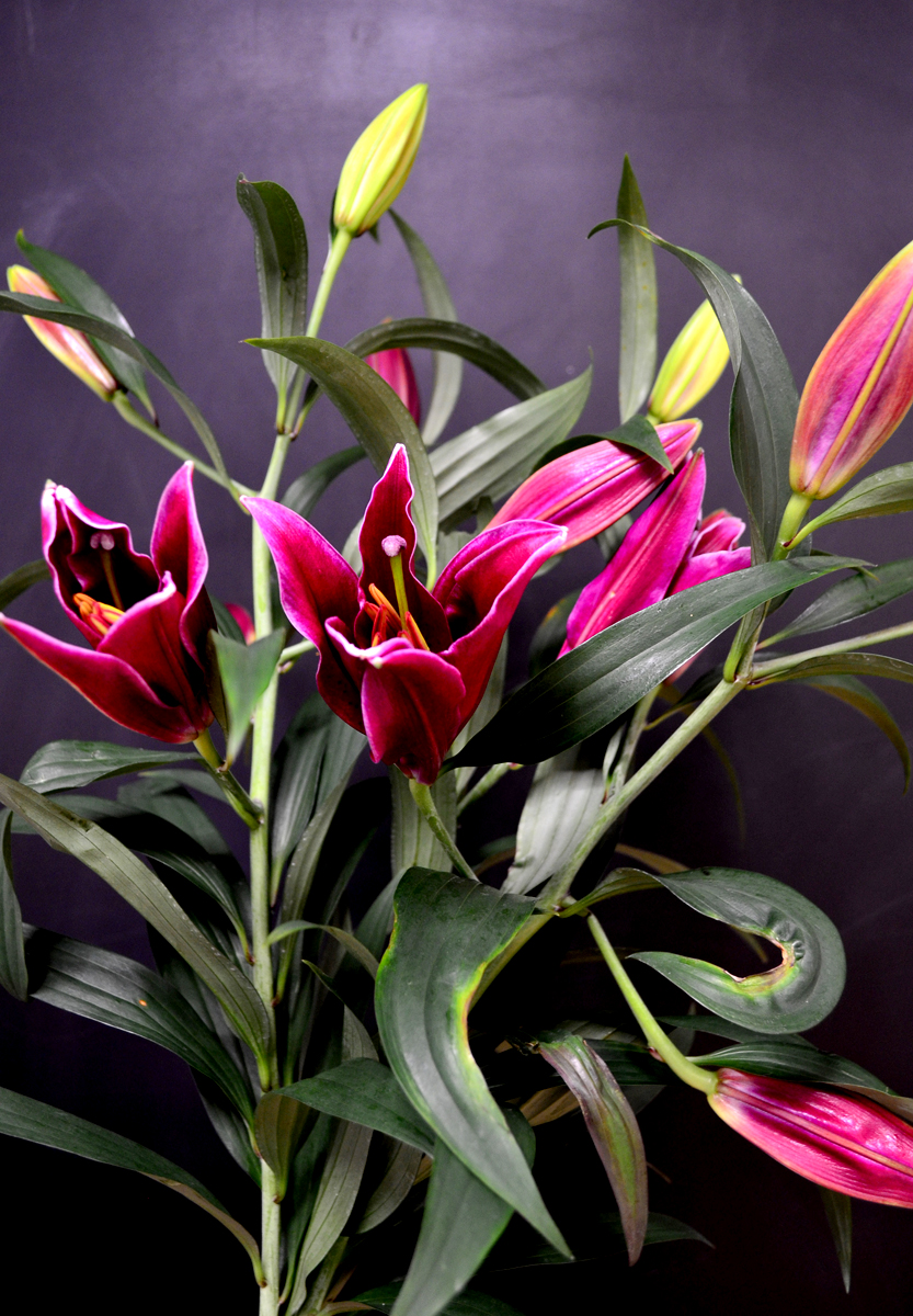 Лилия, ярко-розовая