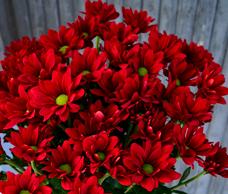 хризантема кустовая бонтемпи фото